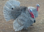 Turkeys - 2 Gorgeous Blue Slate Males  (Rare Breed)