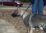 1 beautiful akc german shepherd pup