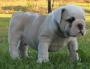 Good looking English bulldog Puppies
