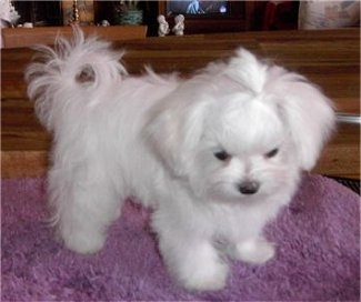 Excellent maltese puppies for sale in Houston