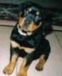 rottweiler puppies for Auction