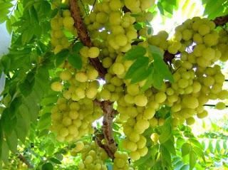 Advantages and health benefits of emblica officinalis (amla) seeds