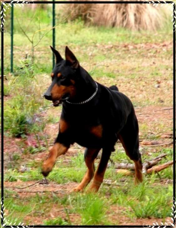 Dobermans puppies for sale
