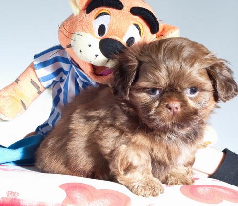 Beautiful shazelvia imperial shih tzu puppies