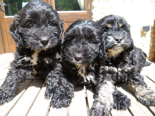 Cockapoo f1 pups, black, black&white, black&tan, prizewinning lines