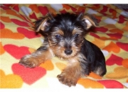 Yorkshire terrier - yorkie redy for x-mas