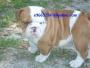 Quality English Bulldog Puppies,