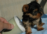 Free yorkie puppy to good home