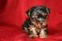 Cute Tiny Male Yorkie Needs A Home