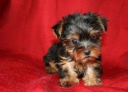 Cute tiny male yorkie needs a home