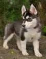 Well Trained Siberian Husky Puppy.