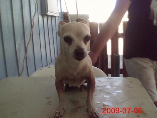 Free:2 chihuahuas one dachshund