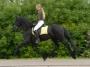 Gentle Friesian Gelding Horse For Sale