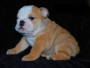 TWO ENGLISH  BULLDOG  PUPPIES FOR  XMASS