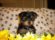 Teacup yorkie puppies ready now