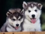 Affectionate Siberian Husky Puppies