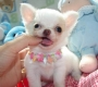 Baby Face Chihuahua Puppy