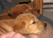 Golden retriever puppies for good homes