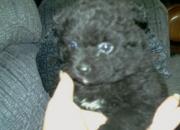 For sale: akc black male pomeranian puppies