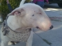 MINIATURE BULL TERRIER PUPPIES and STUD SERVICES