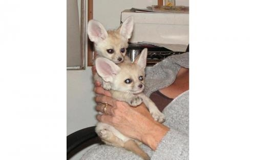 Fennec fox,spotted genet and kinkahjou for sale
