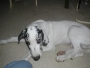 Lovely blue great dane puppies,AKC Registered to good homes.