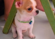 healthy 12 weeks old chihuahua puppy ready to go out for a new home
