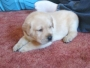 HOME RAISED GREAT LABRADORE PUPPY FOR SALE