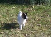 Magnificient akita puppy for sale