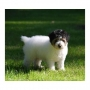 Jack Russel Terrier Available