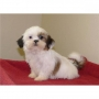 Male and Female Shihtzu Puppies
