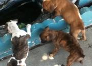 2 boxer puppies