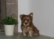 House trained t-cup yorkshire terrier puppies for sale!