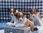 Sweet Jack Russell Puppies