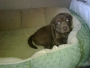 Chocolate lab/Bloodhound Puppies