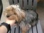 Yorkie Female Available For Sale
