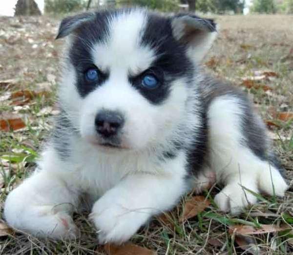 Purebred Siberian Husky Puppies Ready
