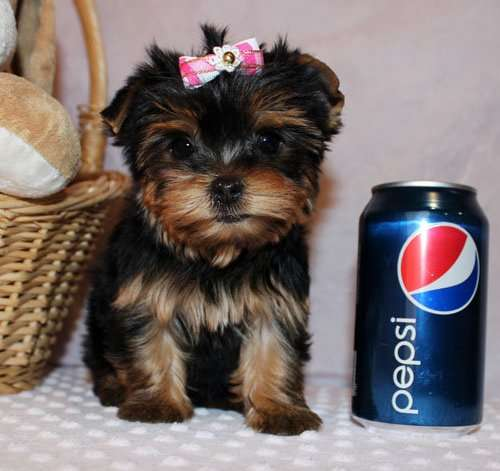 Gorgeouse teacup yorkie puppies that need a home