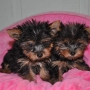 Yorkshire-Terrier puppies Available