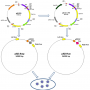 Full-length ORF cDNA Clones