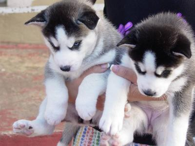 Cheerful-broken-m/f husky puppies