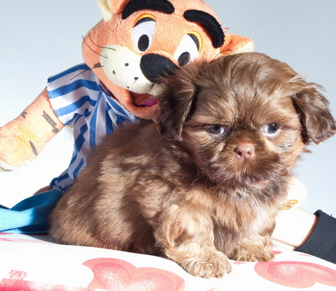 Beautiful shazelvia imperial shih tzu puppies